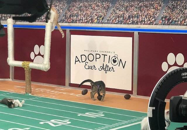 "Hallmark's Sixth ""Kitten Bowl"" and First ""Cat Bowl"" to Be Telecast This Weekend"